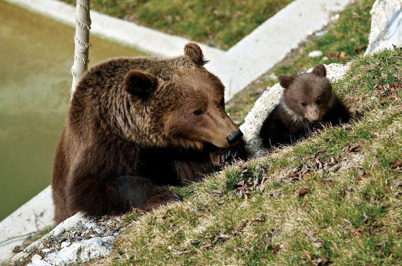 Wenn die Bären im Frühjahr aus dem Winterschlaf erwacht sind, können sie im BärenPark besucht werden. (Foto: Bern Tourismus)